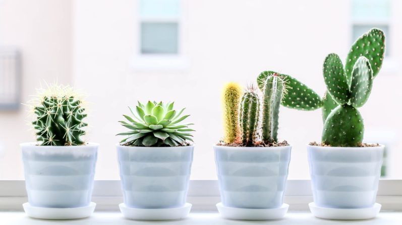 Cactus and Succulent Care Tips for Beginners